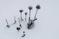 FLOWER STALKS IN SNOW
