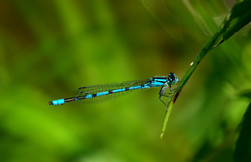 BLUET DRAGONFLY