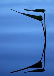 PONTEDERIA REFLECTION
