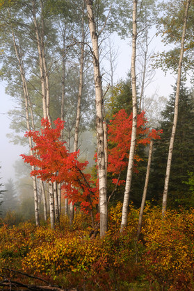 ASPEN AND MAPLE TREES