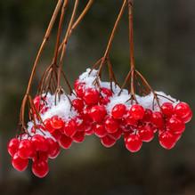 RED WINTER BERRIES