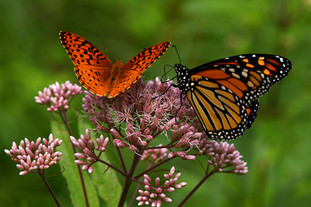 MONARCH AND FRITILLARY BUTTERFLY