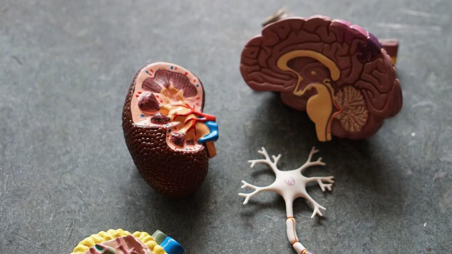 Teile_des_Gehirns