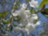 Cherry plum  Ast IMG_0596.jpg
