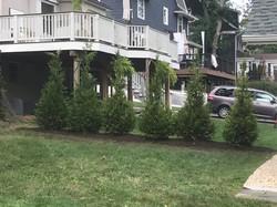 Green Giant Arborvitae in Maplewood.