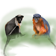 Diana monkey & Red colobus R2