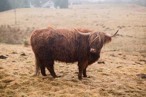 Highland Coo | Isle of Skye, UK