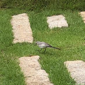 店舗駐車場に野鳥が飛来