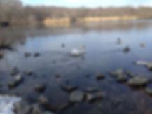 A white swan swimming in Massapequa Park
