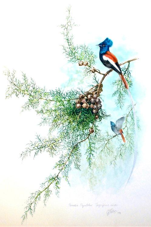 African Paradise Flycatcher - Terpsiphone viridis