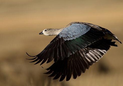 Blue-winged Goose.jpg