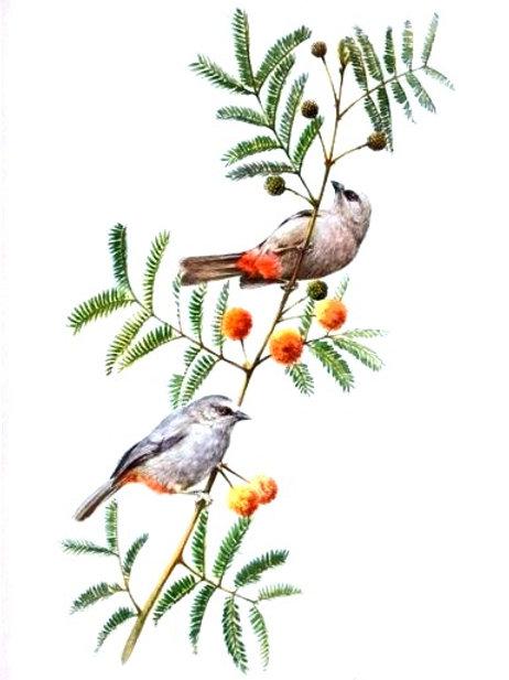 Abyssinian Catbird - Sylvia galinieri