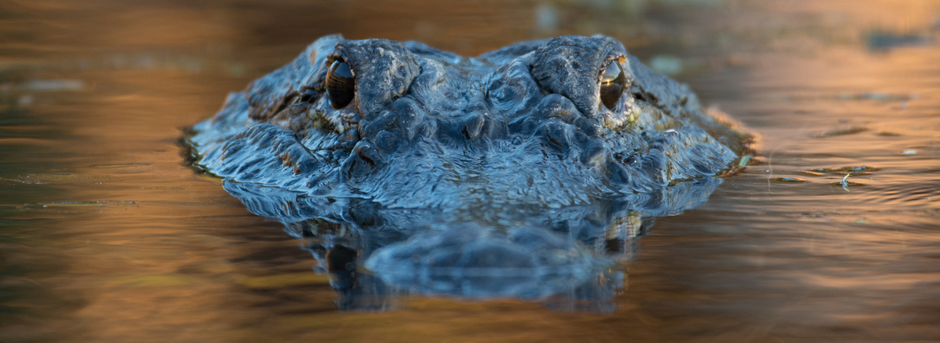 Man rescues puppy from alligator: Choosing Thanksgiving over thanksfeeling