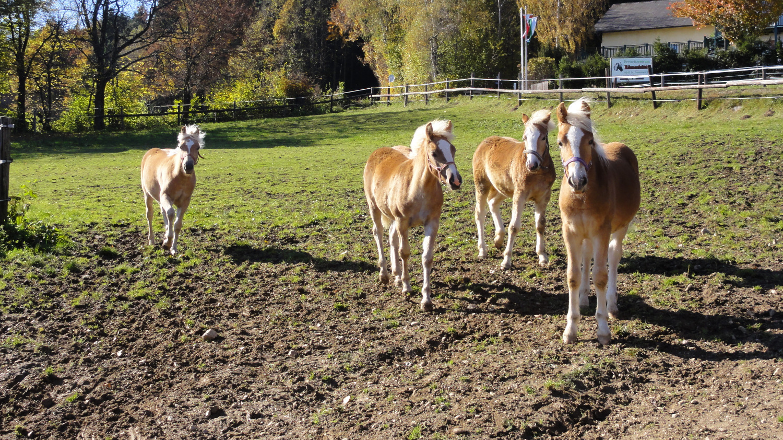 Pferde bei der Pension Römerhof