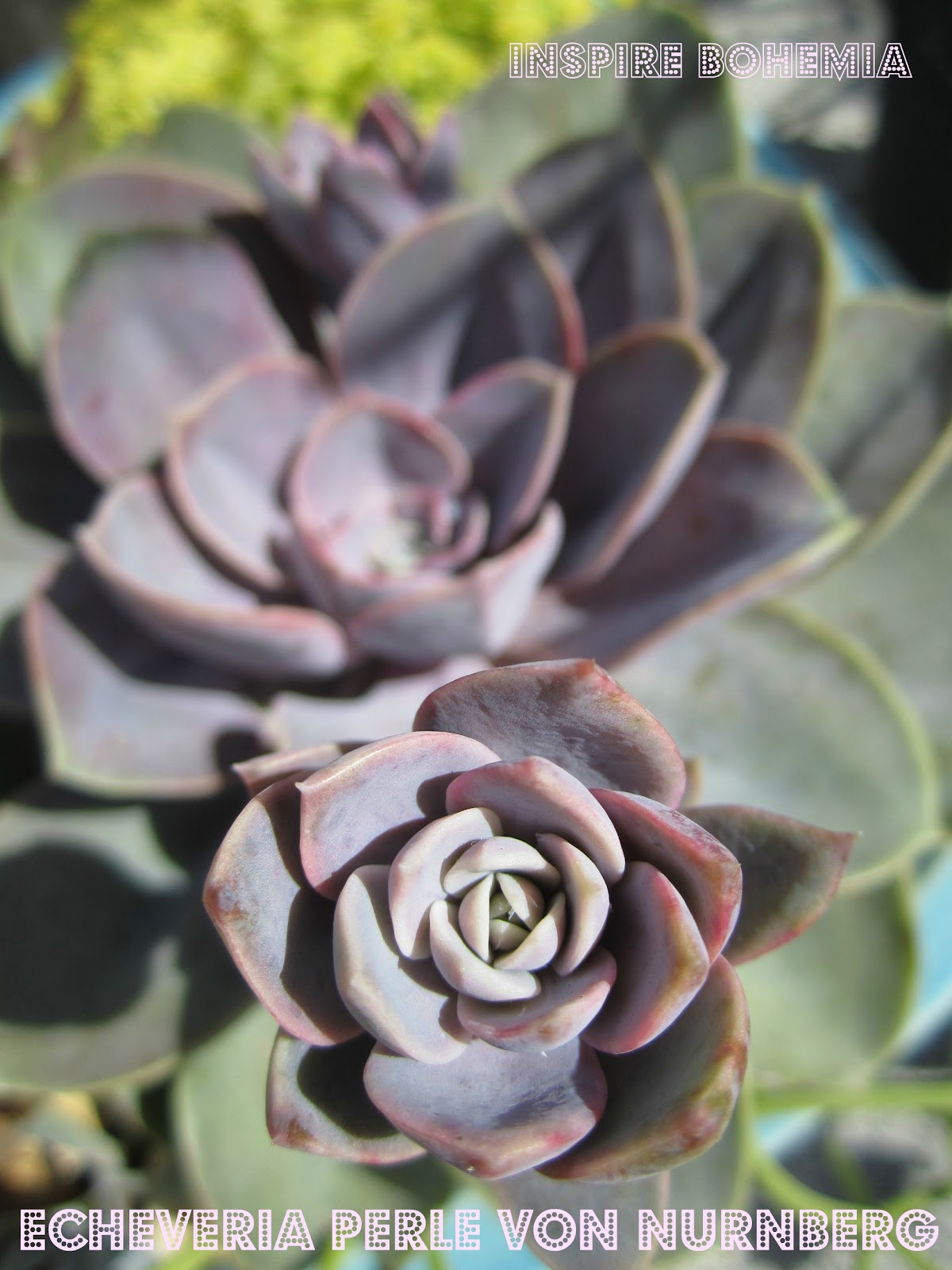 www.InspireBohemia.com - succulent planter - Echeveria Perle von Nurnberg - gardening - how-to - tip
