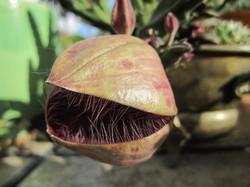 Stapelia grandiflora - stapelia cactus flower - flowers - garden - gardening - The Succulent Artist
