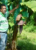 Bananier plantation grand café en Guadeloupe
