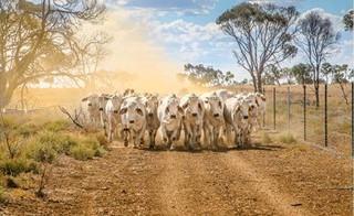 Ausência das indústrias das compras de gado gordo consolidou pressão baixista