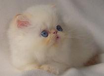 Filhote de Gato Persa Himalaia