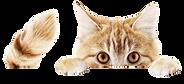 Cat Peeking.png