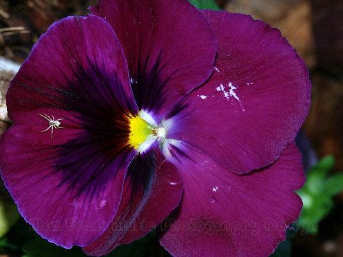 PANSY, Purple 3