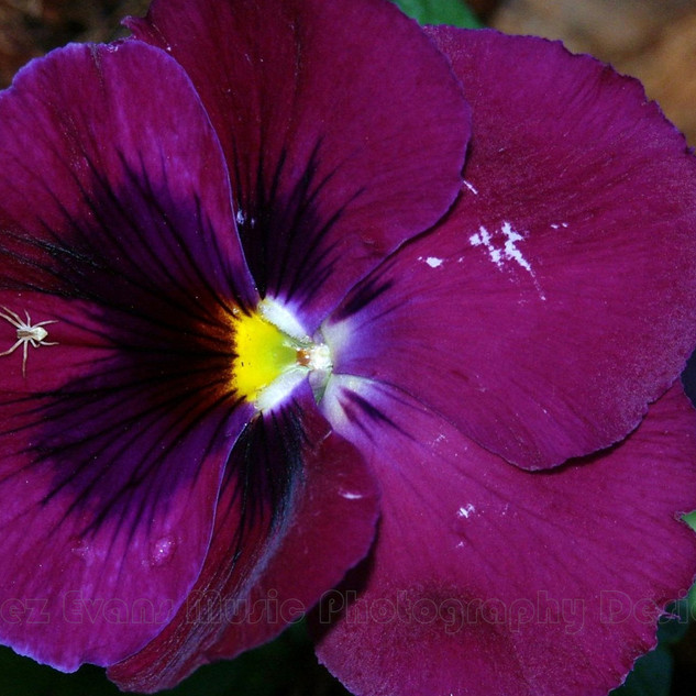 PANSY - 8