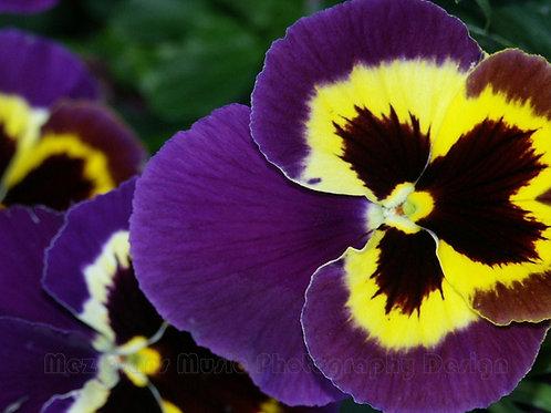 PANSY, Purple 2