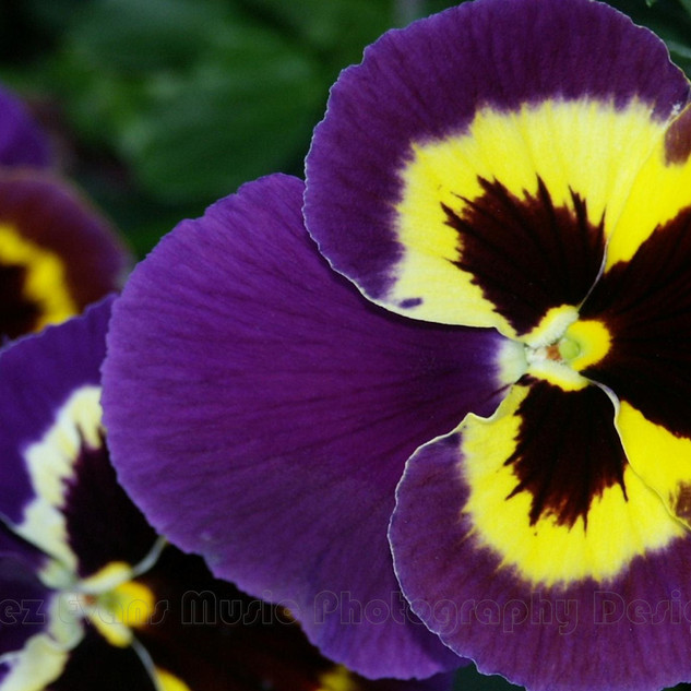 PANSY - 4