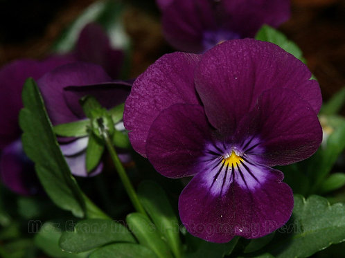 PANSY, Purple 4