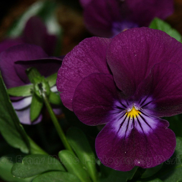 PANSY - 6