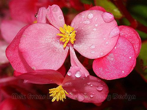 BEGONIA, Pink
