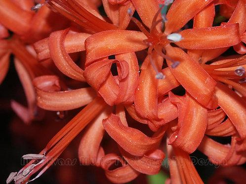 NERINE, Orange