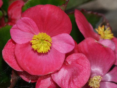 BEGONIA, Pink 2