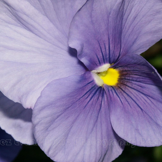PANSY - 5