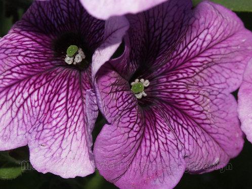 PETUNIA, Purple 2
