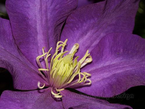 CLEMATIS, Purple 3