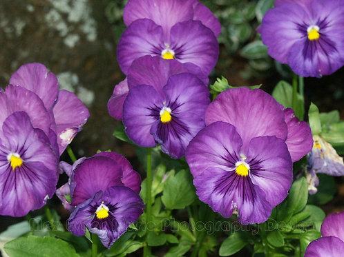 PANSY, Purple 6