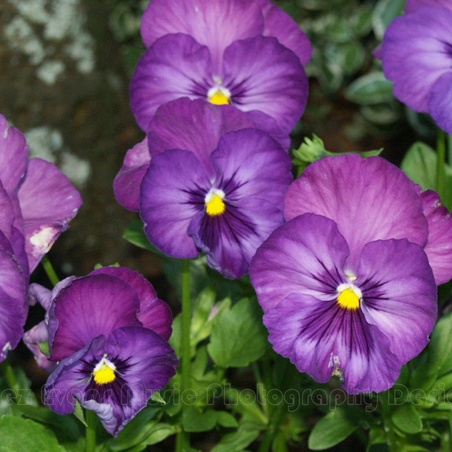 PANSY - 2
