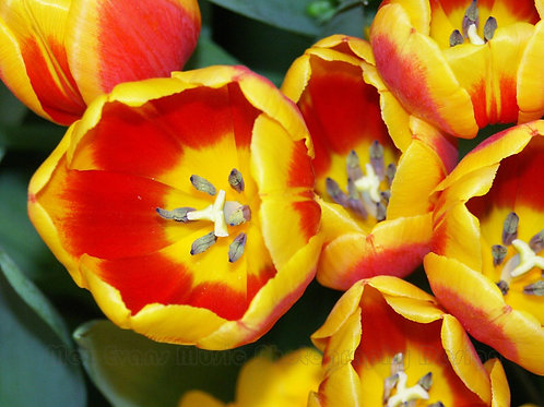 TULIP, Yellow with Red