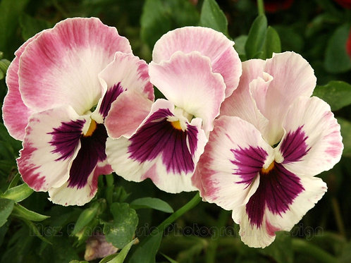 PANSY, Pink