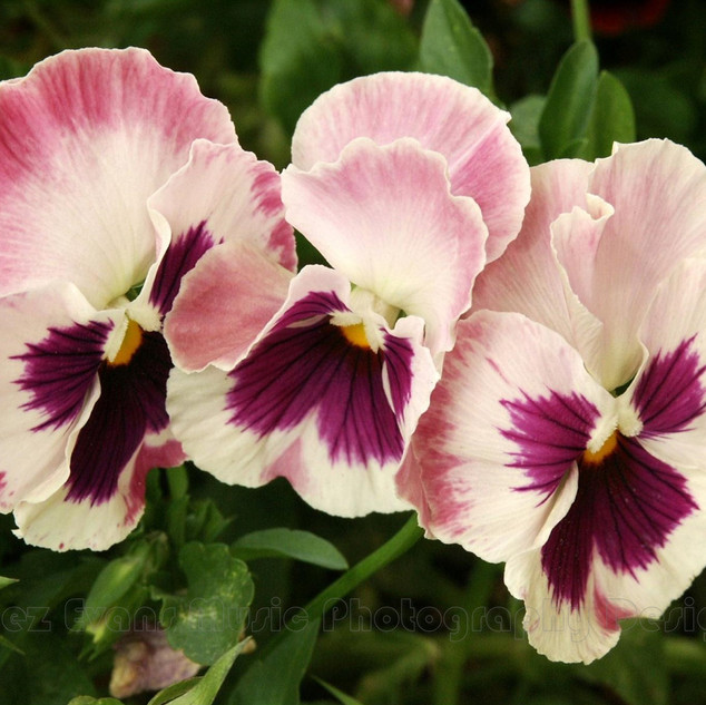 PANSY - 3
