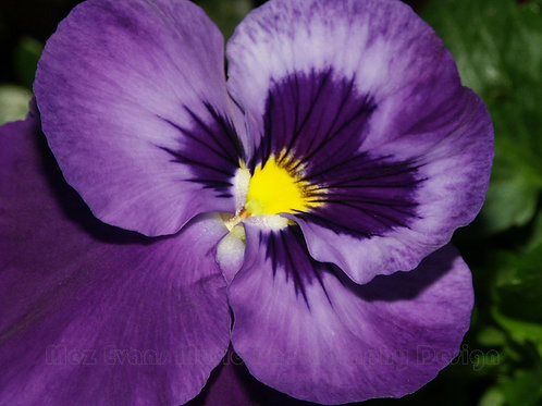 PANSY, Purple 1