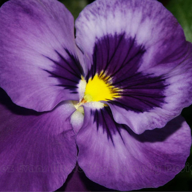 PANSY - 1