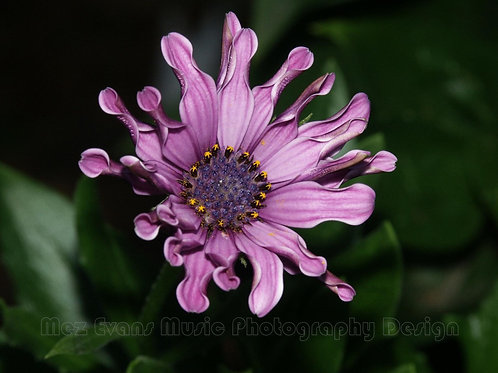 ANEMONE, Purple