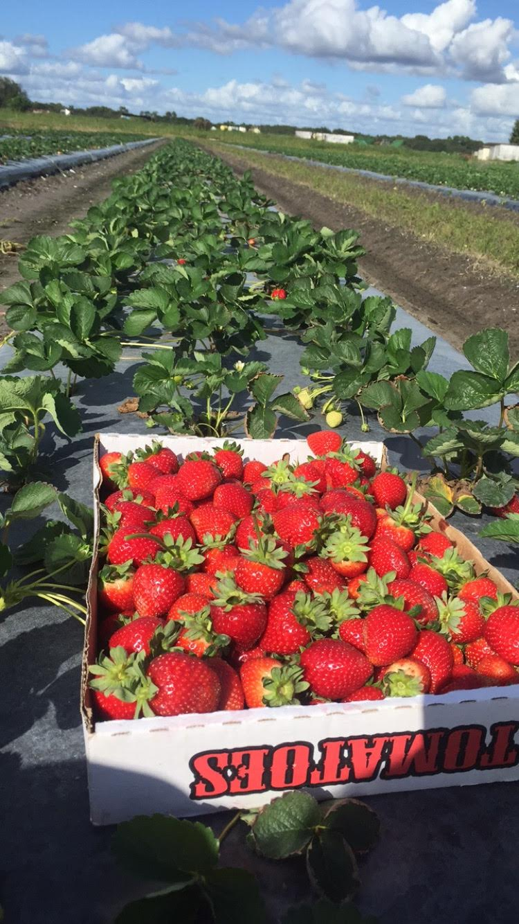 Strawberries field