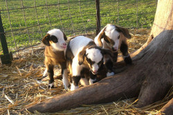 baby goats3