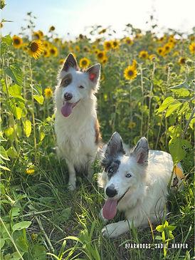 sunflowers dogs.jpg