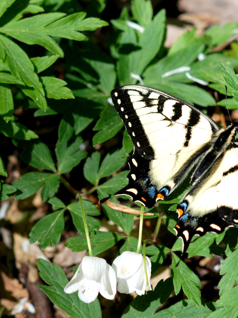 Eastern Tiger Swallowtail - female (Papilio glaucus)