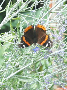 red admiral dorsal view.jpg