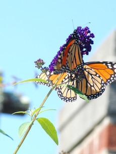 Monarchs at Waveny Walled Garden